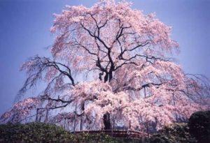 3月28日 京都 着物レンタル 夢京都 高台寺店